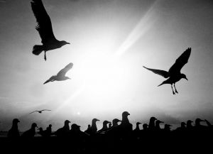 SeagullsGathering-FB14.JPG